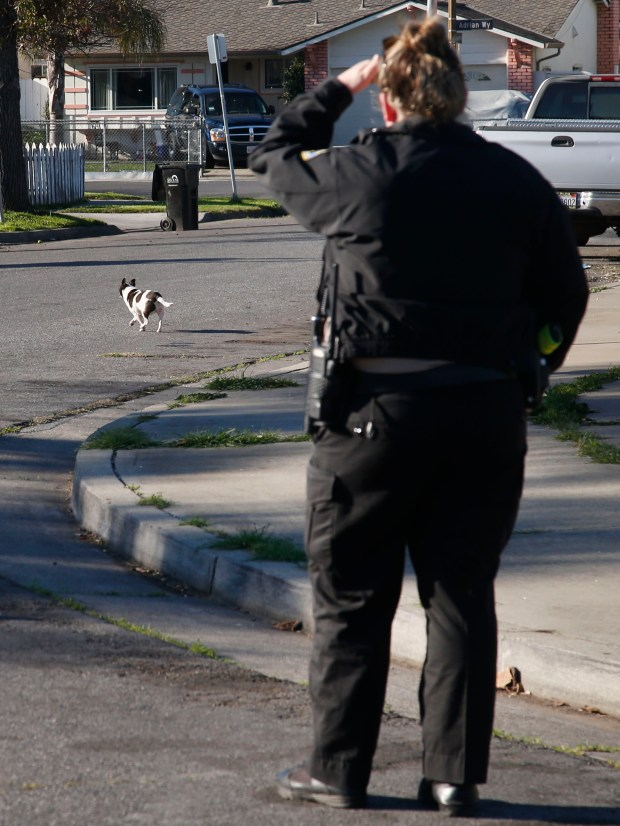 Animal control officer Mallory Kinsman watches a stray dog return to its home, Tuesday, Feb. 13, 2018, in San Jose, Calif. Kinsman was able to follow the dog back home and was able to speak to its owner. (Karl Mondon/Bay Area News Group)