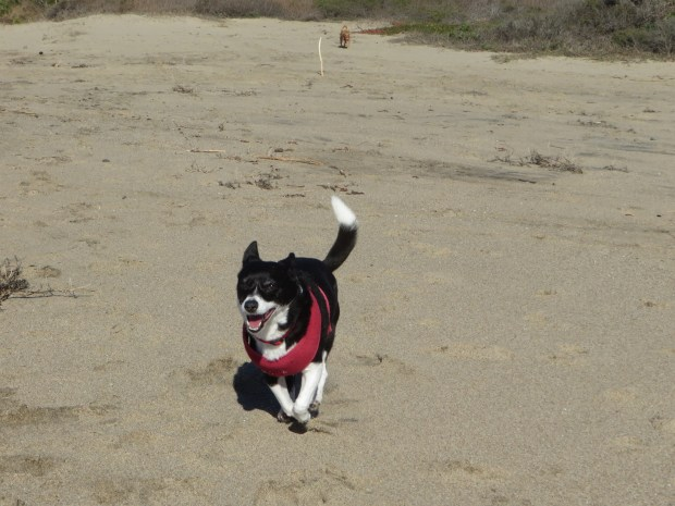 Sassy, running on the beach. (Courtesy of the Garrity Family)