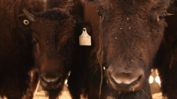 A pair of bison.(Courtesy of Reuben Maness/Oakland Zoo)