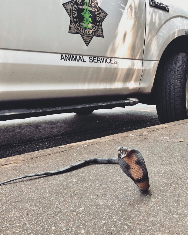 Cody Macartney, acting superintendent of Palo Alto Animal Services,responded to a report of a dead snake at a home in Los Altos Hills on Monday and found a cobra made out of rubber. (Courtesy of Cody Macartney)