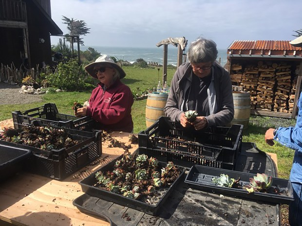 Volunteer care-takers Laura Baker and Julia Larke repot Dudleya succulents to keep them alive until the plants can be replanted along the Humboldt County coastline in an undated photo. The plants were recovered by wardens of the California Department of Fish & Wildlife, who arrested foreign nationals for poaching the plants so they could ship them home to sell them for $40 to $50 a plant. (Courtesy Nancy Ruth Morin)