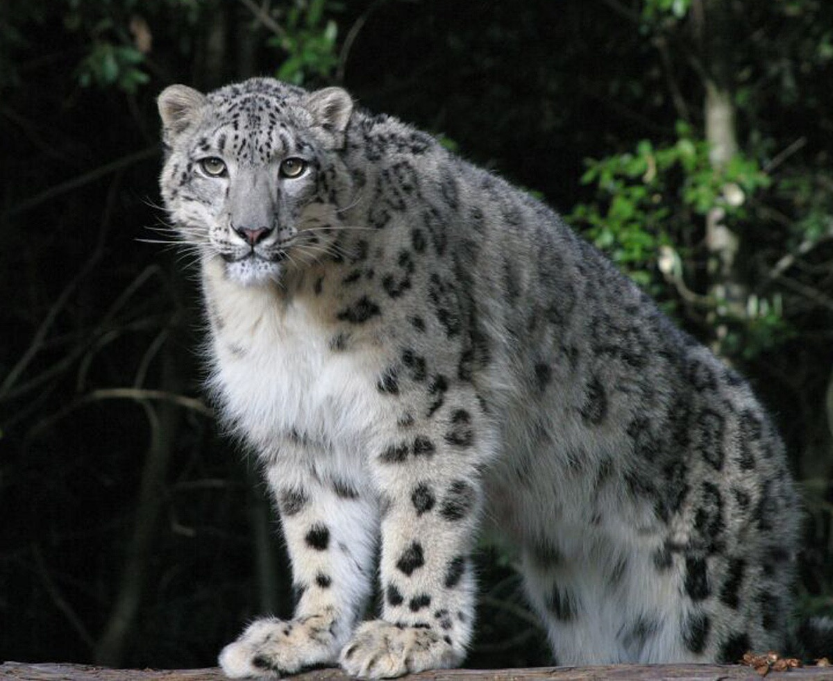 How Many Snow Leopards Are Left In The World Nobody Knows