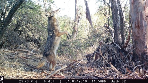 A coyote photographed by a motion-activated camera along the Los Angeles River. (National Park Service)