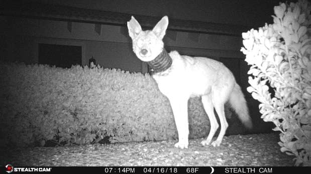 Wild Coyote was seen with landscape tubing stuck on neck. Resident Katie Ryan set up field cameras and got pictures in mid-April 2018. The photos were shared with the California Department of Fish & Wildlife (CADFW) through email. The CADFW warden Katherine Filippini in turn shared them with the Fund for Animals Wildlife Center (FFAWC) and in viewing the initial photos, it was determined that the coyote was nursing pups (distended nipples seen which strongly suggest nursing pups). Warden Filippini thought it best to allow the coyote to continue raising her pups, since initial photos did not show any obvious signs of distress or serious injury. CADFW asked that FFAWC remain in contact with the citizen and offered to help capture the coyote sometime in June, when the pups were weaned.Permission to use photos was given by homeowner Katie Ryan.