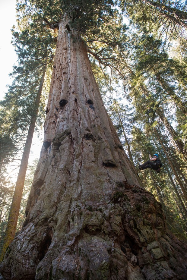 There are 110 giant sequoias, some 250 feet tall and 1,500 years old, on the Red Hill Grove property. (Photo: Paolo Vescia, Save the Redwoods League.)