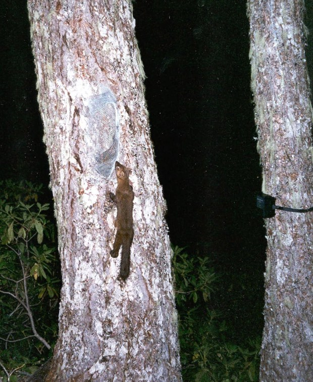 What is believed to be a Humboldt marten is seen in June 1996 in Six Rivers National Forest, California. (AP Photo/U.S. Forest Service)