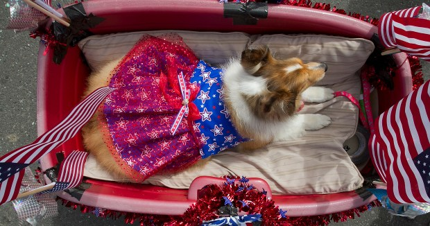 Princess lays in a wagon as she rides in the annual Independence Day in Half Moon Bay, Calif., on Monday , July 4 , 2011. (John Green/Bay Area News Group archive)