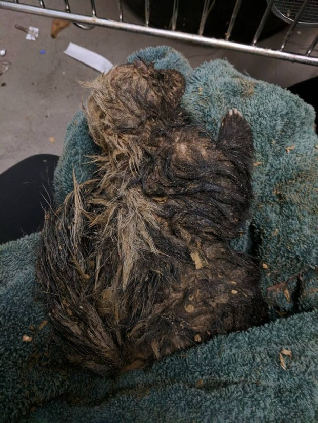 Muddy skunk rescued from a post hole. (Courtesy of Lindsay Wildlife Museum)