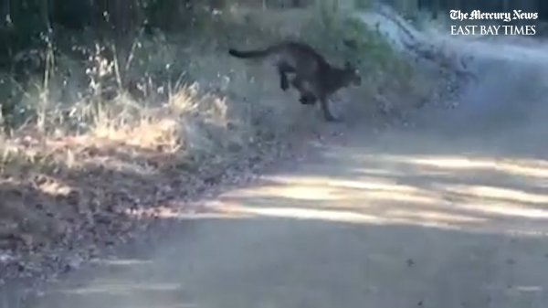 """Mountain lion that attacked 6-year-old girl captured, """"humanely euthanized"""" at Rancho San Antonio"""