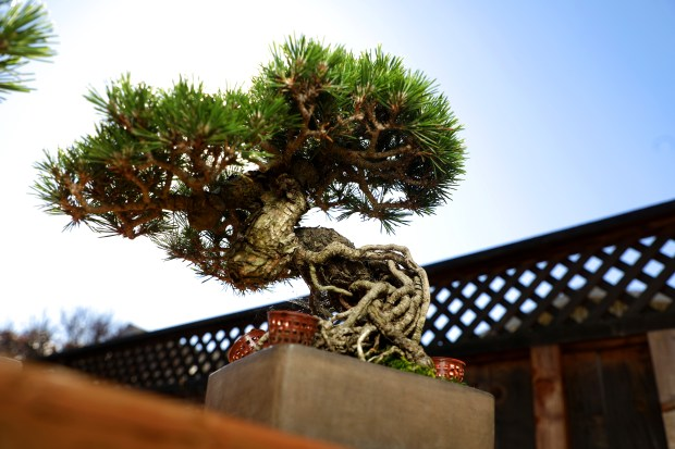 Bonsai Alameda Expert Pens Book On The Ancient And Patient Art