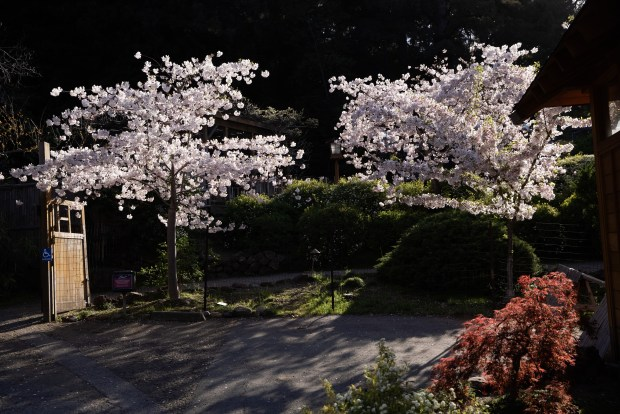 Photos: Hakone opens gardens for daytime (and nighttime) cherry blossom viewing 9