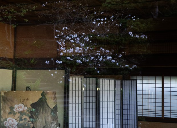 Photos: Hakone opens gardens for daytime (and nighttime) cherry blossom viewing 4