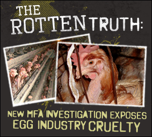 New MFA Investigation Exposes Egg Industry Cruelty