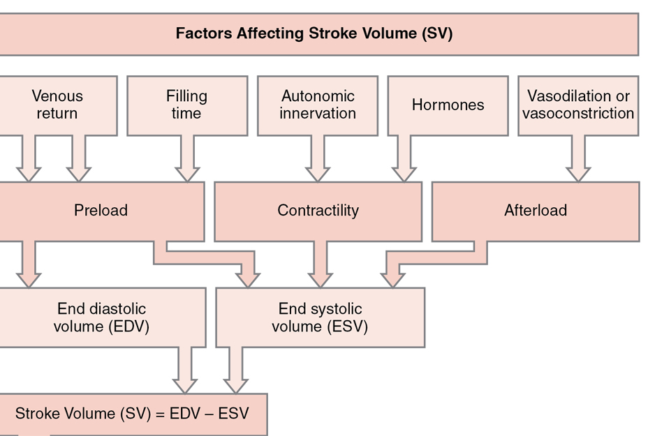 Stroke volume and its influences (Anatomy & Physiology, Connexions Web site. http://cnx.org)