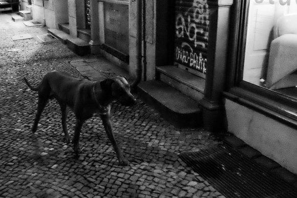 Kvällshund
