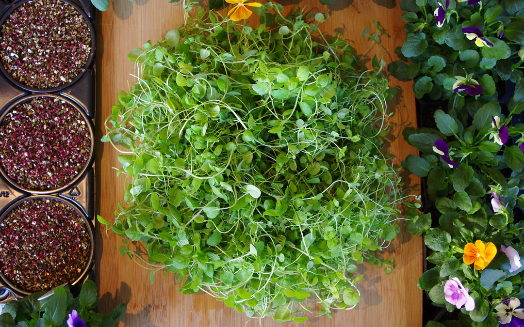 micro-herb-edible-flowerAmaranth-Oregano-and-Viola