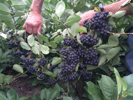 Image result for aronia
