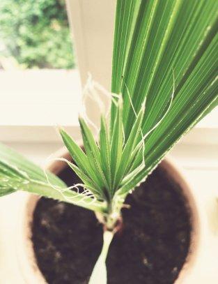 Washingtonia Robusta Jungpflanze