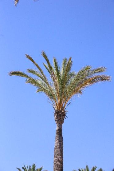 echte_Dattelpalme_Mallorca