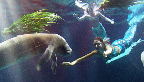 Manatee And Mermaids Mermaid Model Under Water Pictures
