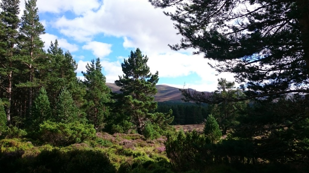 Caledonian Pine Forest Glenmore