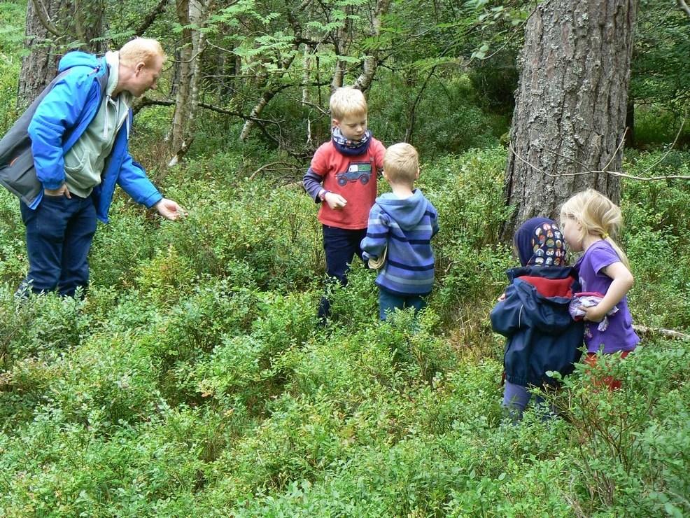 Man and children picking wild blueberries in Scots pine forest