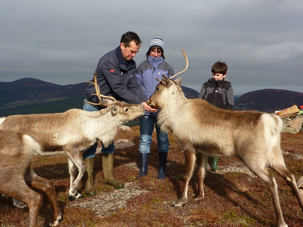 Guided feeding of the Cairngorm Reindeer. Credit © Hen Robinson