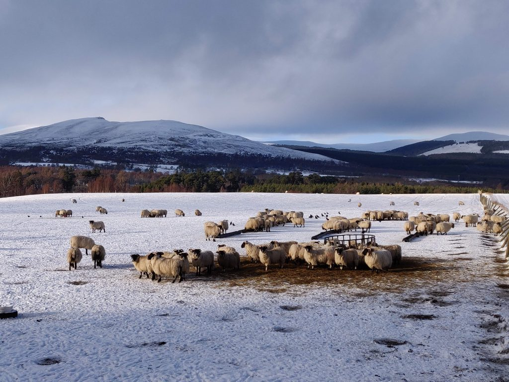 Sheep in winter in the upper Spey valley, Highlands of Scotland