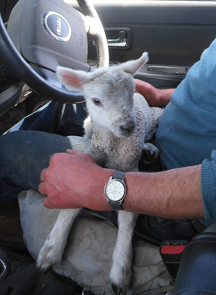 lamb on lap of a shepherd in his vehicle