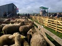 Oile din Mărginime, bune pentru export