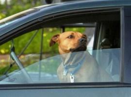 Amenzi pentru cei care transportă animale de companie pe locurile din față ale mașinii
