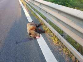 """Urs ucis pe autostradă: """"Deja este un fenomen!"""""""