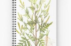 LEACURI DIN NATURĂ |Ambrozia (Ambrosia artemisiifolia)