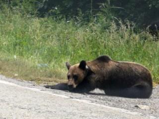 ALERTĂ | Un urs dă târcoale taberei Șanta din Păltiniș