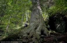 Un brad multisecular din Gura Rîului are șanse să fie desemnat Arborele European al anului 2020