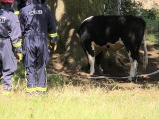 O vacă mai curioasă a rămas cu capul blocat într-o scorbură de copac