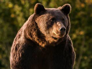 Intervenţia în cazul atacurilor urşilor, adoptată local. Ce prevede documentul