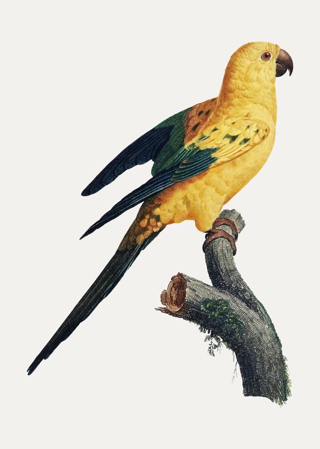 Les races de perruches ou perroquets