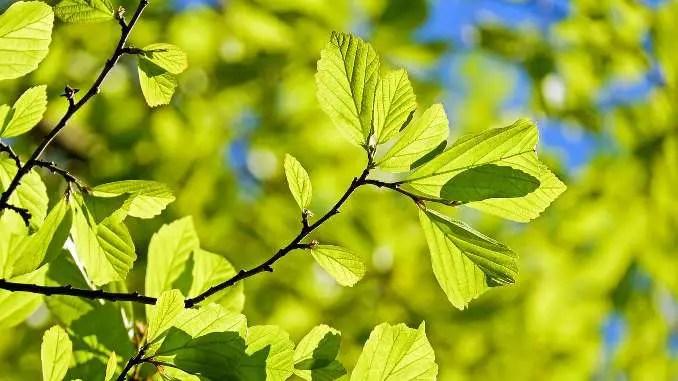 Ramas y hojas verdes de un primer plano de roble.