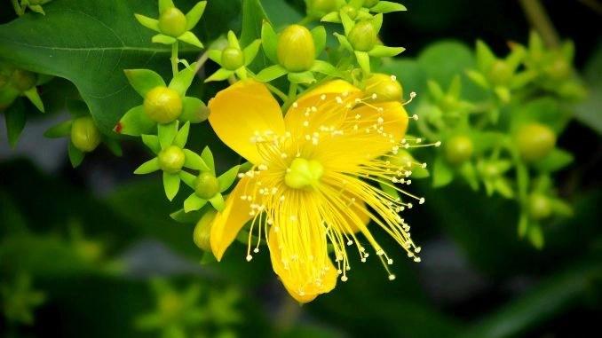 Hierba de San Juan: primer plano de flores y capullos amarillos.