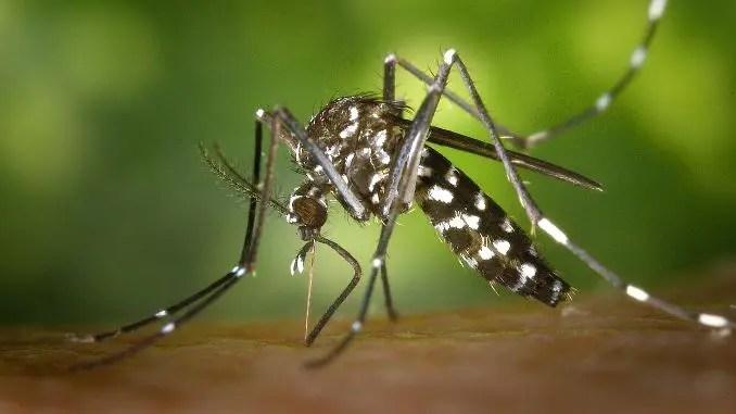 Mosquito tigre mordiendo la piel humana