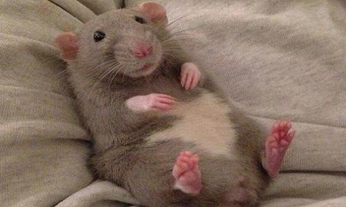 Pétition : Stoppez le génocide des rats.