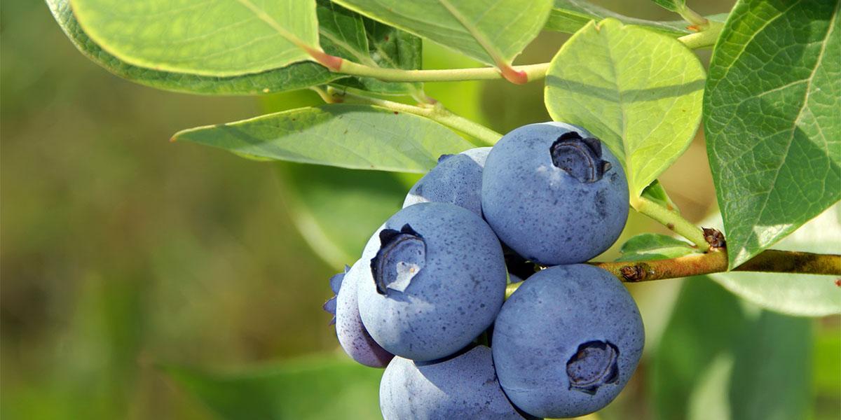 pick your own blueberries at messicks farm market in bealeton va