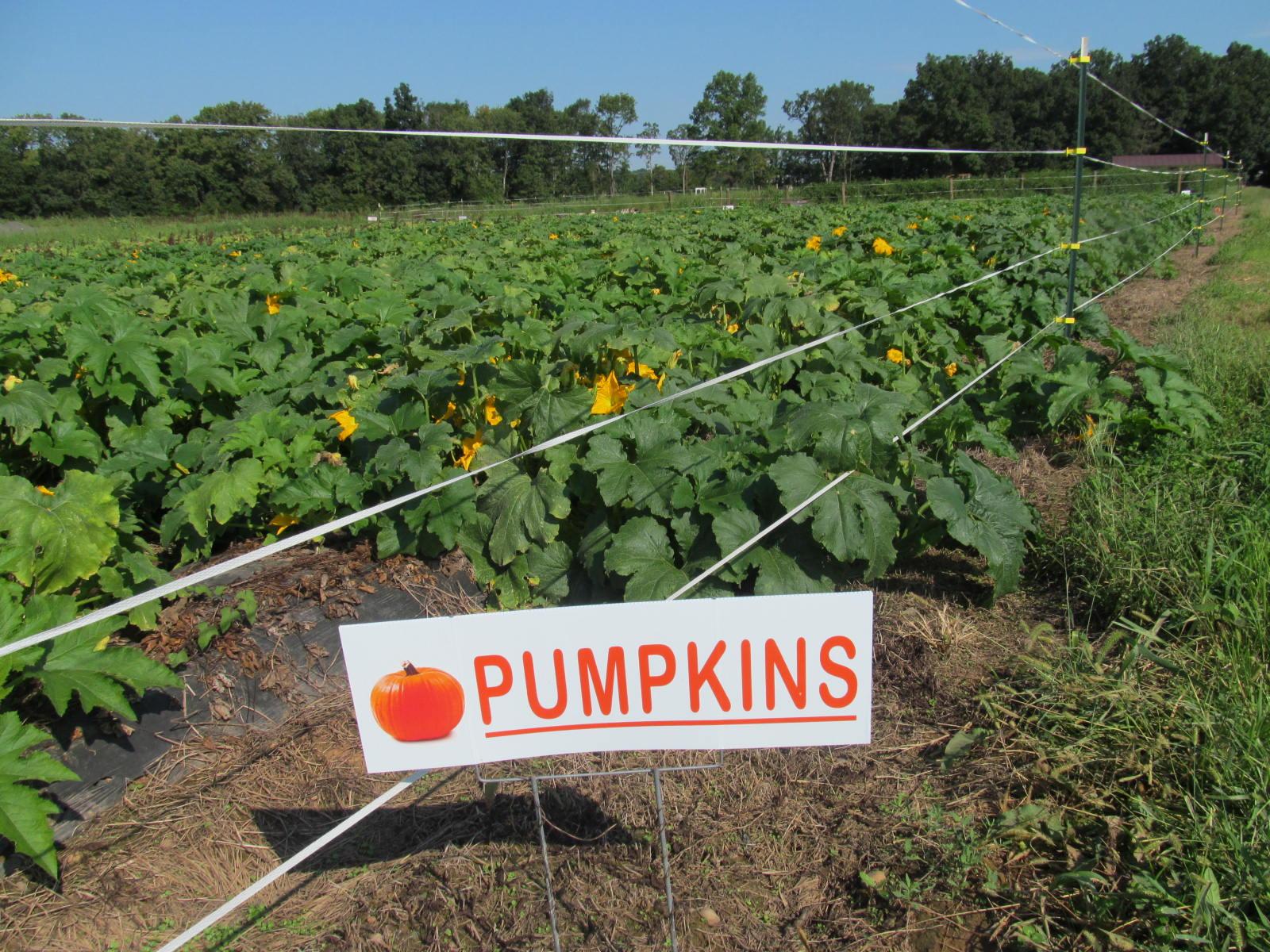 pumpkin picking fields at messicks fall festival