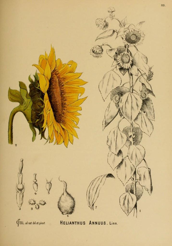 American medicinal plants New York,Boericke & Tafel,c1887. http://www.biodiversitylibrary.org/item/84253