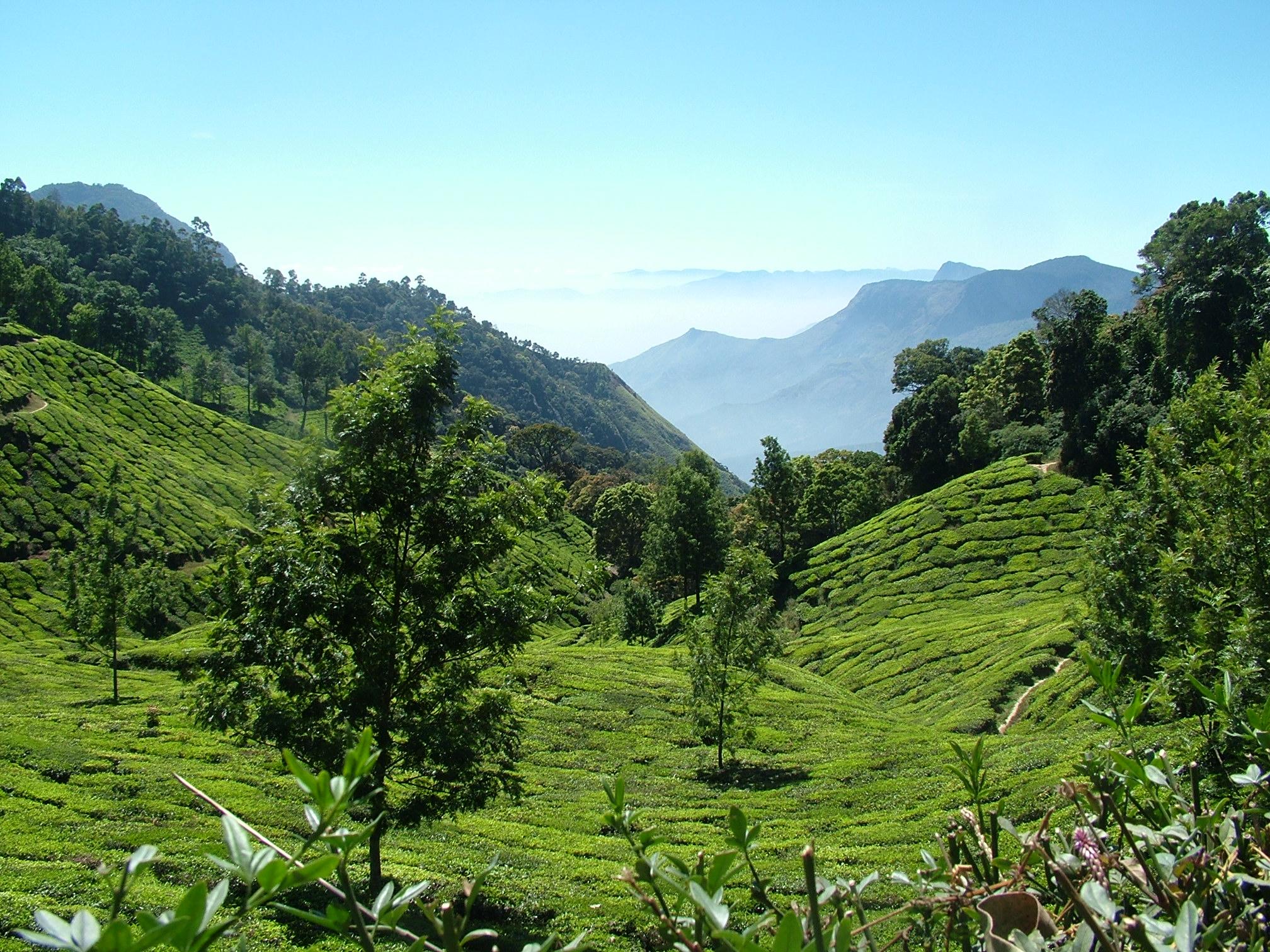 tea plantations in Munar India