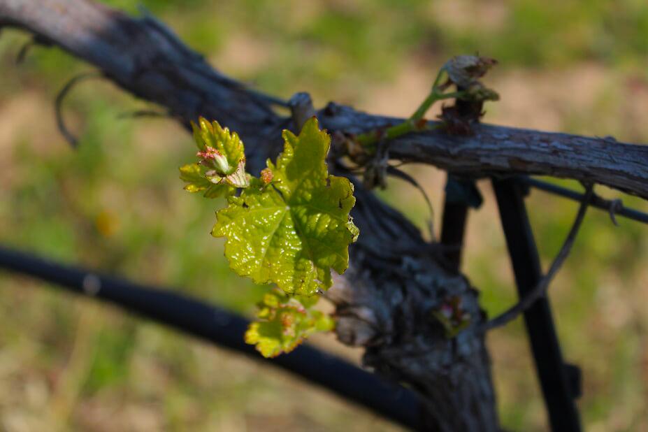 ελληνικό κρασί λεπτομέρεια από το αμπέλι