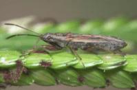 Paromius longulus