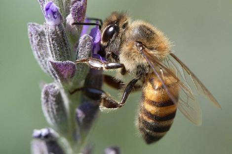 abeja-africanizada