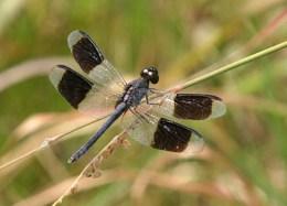 Erythrodiplax umbrata brauer